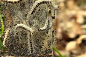 Minder eikenprocessierupsen dit jaar, maar pas op voor weggewaaide nesten