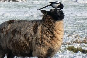 Wat moeten al die eksters bij de schapenwei? Frans Kapteijns geeft antwoord op vragen in Stuifm@il
